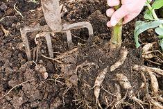 Lifting dahlias tubers. Image: ©www.gardenworldimages.com