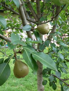 Seckel Pears Pears, Fruit Trees, Outdoor Living, Favorite Things, Garden, Outdoor Life, Garten, Gardens, The Great Outdoors