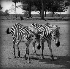 """Buddies - Global Wildlife Center"" by Beth Vincent"