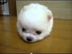 Hilarious Dog Looks Like a Cotton Ball