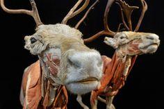 """""""Animals inside out"""" a new exhibit by artist Gunther von Hagens... #gunthervonhagens #bodyworlds #plastination"""
