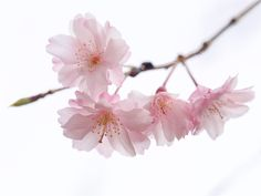 https://flic.kr/p/GNGFWt | 八重枝垂れ桜 Double weeping cherry trees