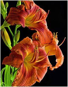✯ Daylilies