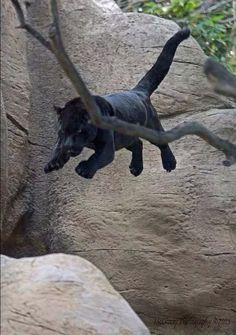 15 Animals Caught In Mid Jump That Will Blow Your Mind - World's largest collection of cat memes and other animals Funny Animal Pictures, Funny Animals, Cute Animals, Beautiful Cats, Animals Beautiful, Panther Leopard, Jaguar Animal, Dog Paintings, Cat Breeds