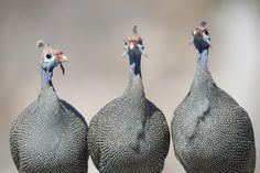 Watch out for guinea fowl in the road on your safari! Guinea Fowl, Vacations, Safari, African, Bird, Watch, Crafts, Animals, Holidays