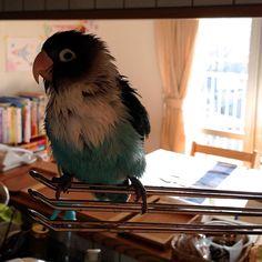 My blue bird ! ボン(水浴び後)  #bird #bluebird #earlymorning #life #bon #torimizuki