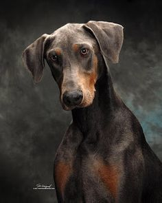 Doberman...what a gorgeous colour!!!