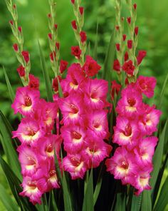 Perennial Gladiolus Flower Seeds, Rare Sword Lily Seeds for DIY HOME garden planting Aerobic potted plants decoration Gladiolus Bulbs, Gladiolus Flower, Garden Plants, Indoor Plants, Flowering Plants, Ornamental Plants, Potted Plants, Bulbous Plants, American Meadows