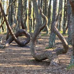The Mysterious Dancing Forest of Kaliningrad