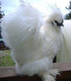 Beautiful young white silkie Hen