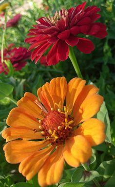 Beautiful Flowers, Amazing Flowers, Flower Garden, Flowers, Foliage, Pretty Flowers, Trees To Plant, Plants, Zinnias