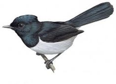 Blue-headed Crested-Flycatcher (Trochocercus nitens)
