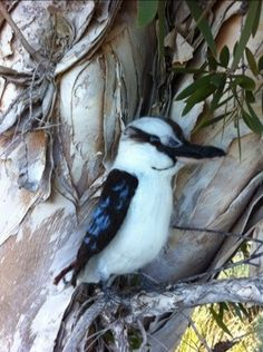 """Jack"" the Kookaburra by Catherine Stein skittykitty.com"