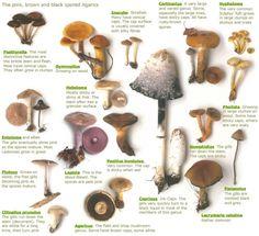 Edible Wild Mushrooms Chart