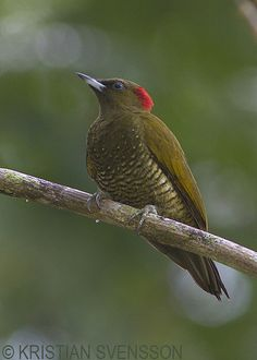 Rufous-winged Woodpecker Piculus simplex - Google Search