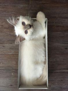 Pixel ma terreur!!! mon chaton sacrée de Birmanie adoré !!