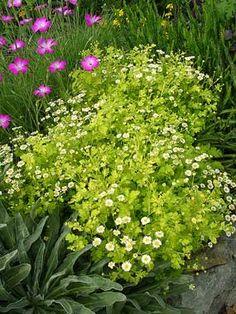 """Tanacetum parthenium aureum  """"Golden Feverfew"""""""