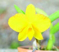 sophronitis coccinea amarela  yellow smile  -  enraizada