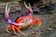 crab You got me Beautiful Creatures, Animals Beautiful, Beautiful Ocean, Halloween Crab, Sea Crab, Crab Art, Crab And Lobster, Ocean Creatures, Underwater World