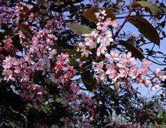 Prunus padus Coloratus (Vörös levelű májusfa)