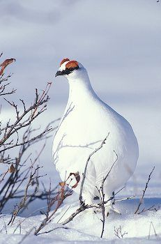 Spring Rock Ptarmigan- aka the bowling pin bird! aka Alaska State Bird