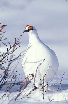 Spring Rock Ptarmigan- aka the bowling pin bird! aka Alaska State Bird