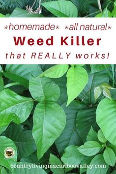 Homemade Poison Ivy and Weed Killer That Really Works - Country Living in a Cariboo Valley Poison Ivy Killer, Kill Poison Ivy, Poison Ivy Spray, Organic Gardening, Gardening Tips, Gardening Quotes, Vegetable Gardening, Poison Ivy Plants, Weed Killer Homemade