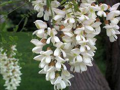 VIN terapeutic din flori de SALCÂM - Top Remedii Naturiste