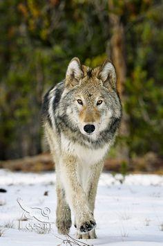 Yellowstone National Park - wolf.