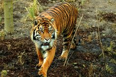 Tiger by Ivan Hernandez