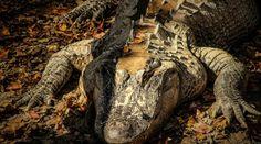 Colossal Alligator In Florida Baffles The Internet