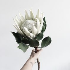 By Faith Lord- Protea flower from her wedding bouquet. Protea Flower, Protea Bouquet, My Flower, Boquet, Ikebana, Arte Floral, Fleur Protea, White Flowers, Beautiful Flowers