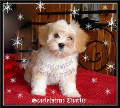 Cavachon Puppy Scarletstrue Charlie