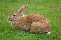 Utilisation de la caroube (Ceratonia ciliqua) dans l'alimentation du lapin locale en croissance : évaluation des performances zootechniques et de la digestibilité.