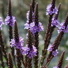 Ståtlig med långa lansettblad och täta, blåvioletta-skära axblommor i fl...