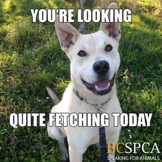 Taz thinks you look quite fetching today. So let's play fetch!  Meet this sweet boy at the BC SPCA Victoria Branch.