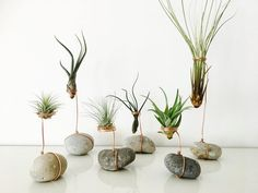Air plant, tillandsia, tillandsia air plant holder stand, Pebble, terrarium - All For Herbs And Plants Succulent Outdoor, Pink Succulent, Cacti And Succulents, Planting Succulents, Planting Flowers, Succulent Terrarium, Cacti Garden, Moss Garden, Fruit Garden