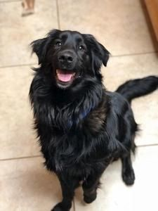 Border Collie Flat Coated Retriever Dog For Adoption In Davis