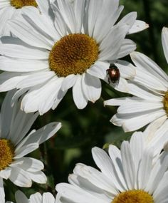 Daisies are my favorite flower even with Japenese Beetles