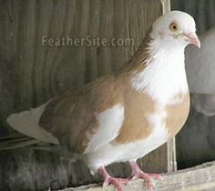 Pigeon Cage, Pigeon Bird, Pigeon Diseases, Cute Pigeon, Pigeon Pictures, Pigeon Breeds, Beautiful Birds, Beautiful People, Still Life Art