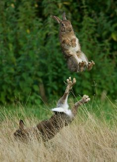 Whoa...every bunny was kung fu fighting, wish I could have been there to see the rabbits leaping like this.