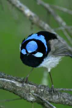 https://flic.kr/p/9F7iQ4 | Superb Fairy Wren - threat display | Photographed in Wamboin, Spring 2010. This male puffed up and gave a brief threat display when a rival approached. Photos from this sequence were publishing in Captial Magazine, March, 2013.