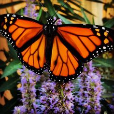 Monarch butterfly on Anise Hyssop (Agastache foeniculum). Photo by David Mizejewski.