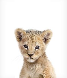 Baby Lion Print