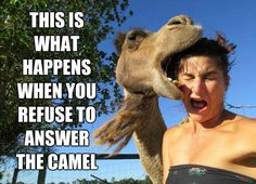 camels for hump day wednesday | ... This-Is-What-Happens-When-You-Refuse-To-Answer-The-Camel-Hump-Day.jpg