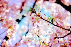 My childhood love... Cherry blossoms...