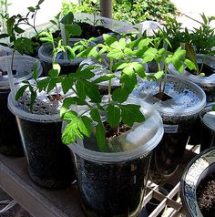 Growing Heirloom Seeds - Natural Organic Gardening - Container  Apartment Gardening