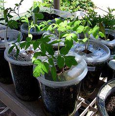 Growing Heirloom Seeds - Natural Organic Gardening - Container & Apartment Gardening