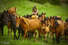 Wild horses in Kazakhstan and a cowboy herding them on a tame horse Horse Breeds, Kazakhstan, Wild Horses, Beautiful Horses, Pretty Horses, Beautiful Landscapes, Beautiful Creatures, Vernon, Mammals