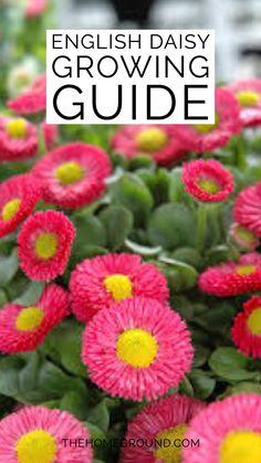 Daisy Flowers, Daisies, Garden Beds, Garden Plants, Landscaping Ideas, Garden Landscaping, Beautiful Gardens, Beautiful Flowers, House Gardens